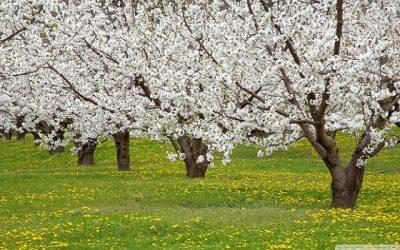 apple blossom tree 4