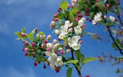 apple-blossom-tree-branch-spring-2