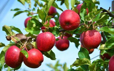 apple tree 2a