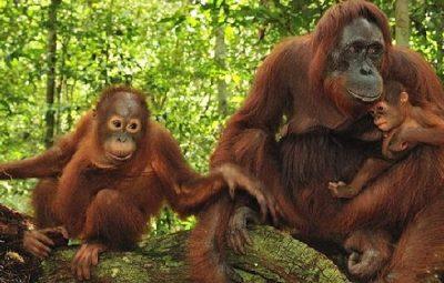 orangutan 6a